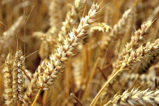 Wheat, Cereals, Ear, Grain, Agriculture, Field, Nature