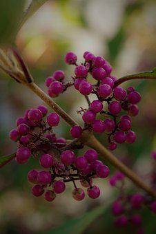 Flower, Nonpareils, Shrub Botany, Garden, Park, Plant