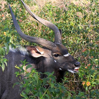 Antelope, Nyala, Enjoy, Nature, Horns