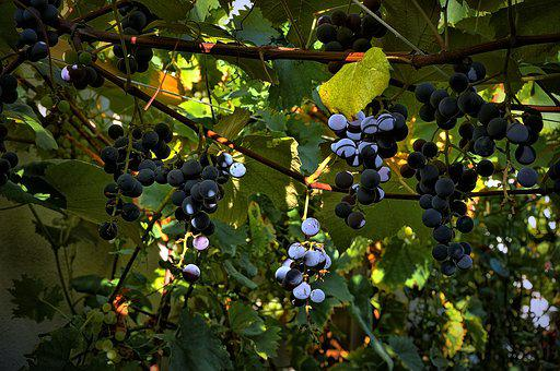 Grapes, Garden, Plants, Guilty Bush, The Cultivation Of