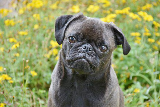 Pug, Dog, Small, Pet, Lap Dog, Purebred Dog, Cute