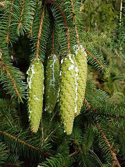 Spruce, Pine Cones, Conifer, Branch, Resin