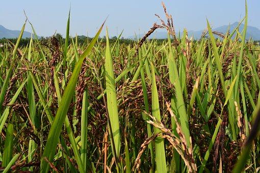 Rice Purple, Brown Rice, Rice, Purple, Rice Herbal