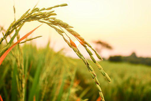 Rice, Rice Seeds, Agriculture, Harvesting, Wheat