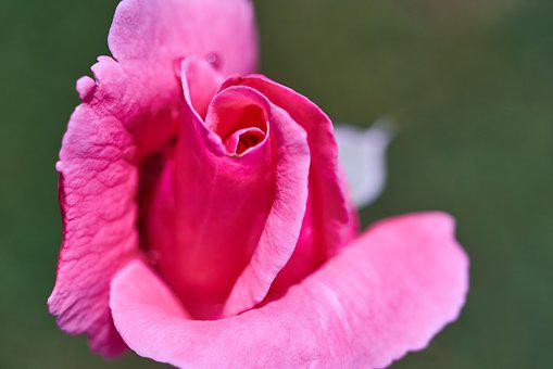 Rose, Flower, Pink, Romantic, Romance, Nature, Plant