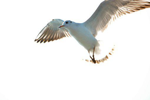 White Pigeon, Sea, India, Indian Ocean, Sea Birds