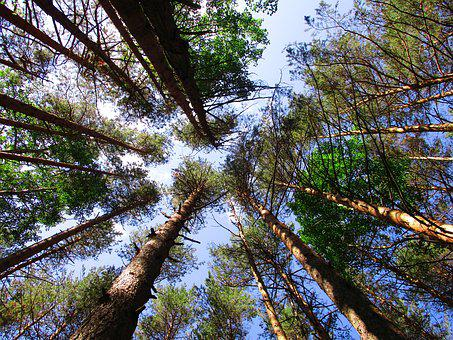 Trees, Forest, Sky, Height, Nature, Trunks, Landscape