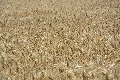 Wheats, Wheat Fields, Agriculture, Culture, Food