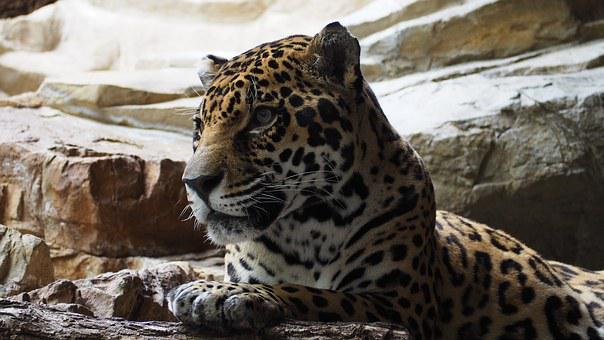 Jaguar, Cat, Animal, Big, Carnivore, Feline, Hunter