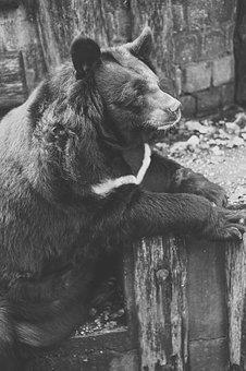 Bear, Captivity, Black And White, Fence, Zoo
