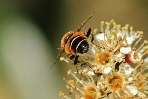 Bee, Blossom, Bloom, Pollen, Macro, Insect, Pollination