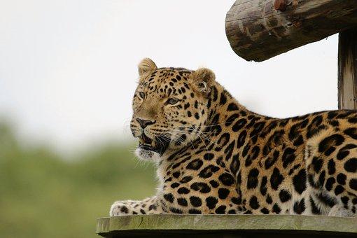 Leopard, Big Cat, Animal, Mammal, Wildlife, Big