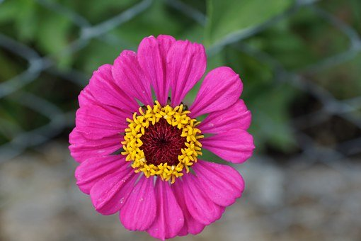 Zinnia, Flower, Composites, Pink, Blossom, Bloom, Plant