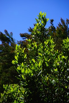 Laurel Tree, Tree, Canary Laurel, Leaves, Bay Leaves