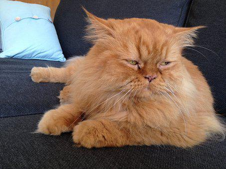 Red Tomcat, Persians, Thoughtful, Cat