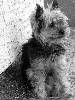 Yorkie, Terrier, Dog, Pet, Canine, Portrait, Ears