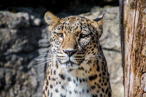 Leopard, Persian Leopard, Cat, Elegant, Big Cat