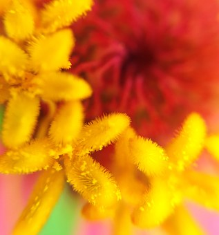 Zinnia, Pollen, Stamen, Extension Tubes, Macro