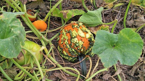 Pumpkin, Orange, Autumn, Green, Patch, Farm, Orchard