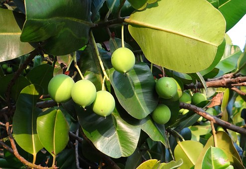 Beauty Leaf, Alexandrian Laurel, Fruit, Nut, Flora