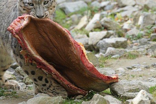 Predator, Snow Leopard, Irbis, Big Cat, Food, Eat