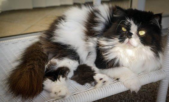Cat, Portrait, Himalayan Persian, Cute, Domestic, Fur