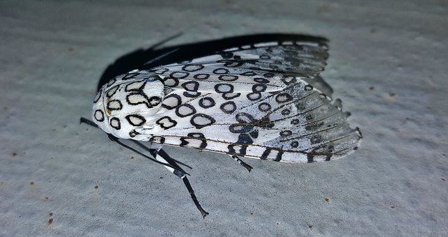 Moth, Giant Leopard Moth, Insect, Insectoid, Wings