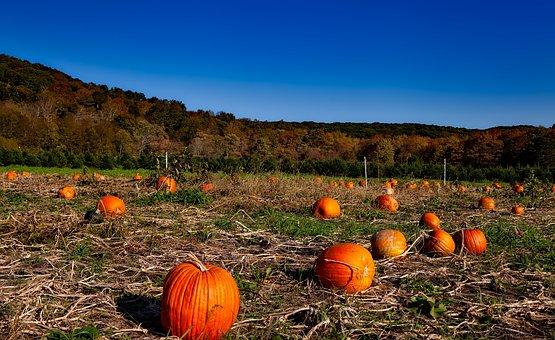 Pumpkin Patch, Autumn, Fall, Halloween, Harvest