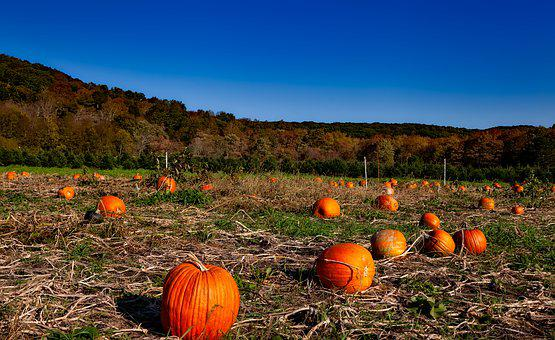 Pumpkin Patch, Autumn, Fall, Halloween, Harvest