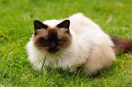 Cat, Himalayan Cat, Himalayan, Persian, Point, Cute