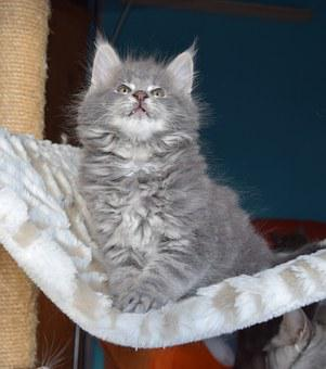 Cat, Grey Fur, Pets, Kitten, Fluffy, Mammal, Inside