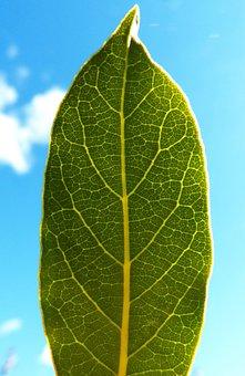 Leaf, Laurel, Backlight, Spices, Ramifications