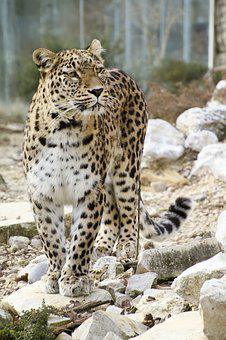 Persian Leopard, Leopard, Full Length Portrait