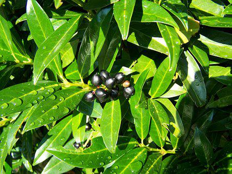 Cherry Laurel Berries, Black Olives, Nature