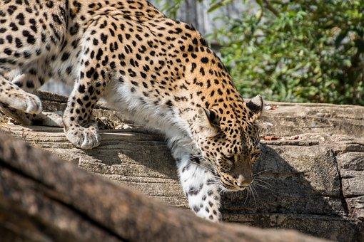 Leopard, Persian Leopard, Cat, Elegant, Movement