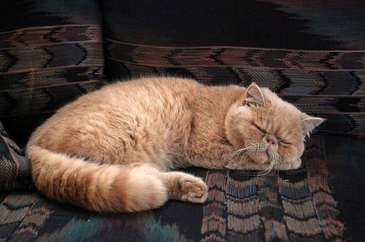 Cat, Persian, Kitten, Animal, Feline, Pet, Adorable