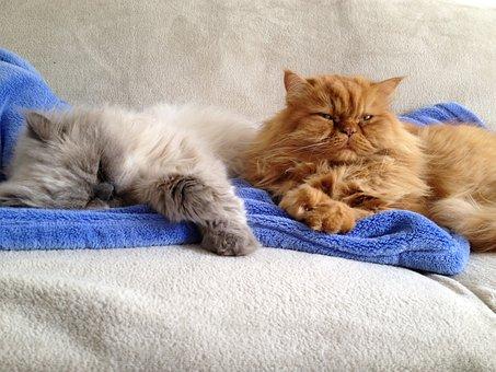 Cat, Persians, Buddy, Pet, Red Tomcat, Felidae, Mieze