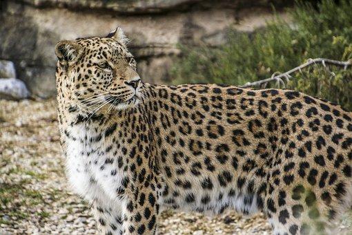 Persian Leopard, Leopard, Portrait, Close, View, Face