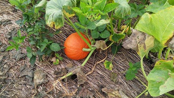 Pumpkin, Fall, Pumpkin Patch, Autumn, Leaves, Harvest