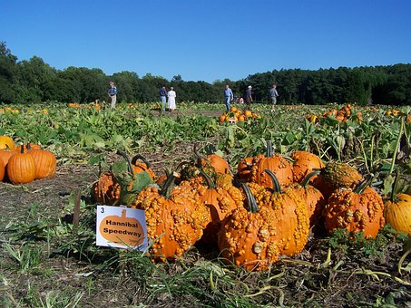 Pumpkins, Farm, Orange, Farming, Field, Agriculture