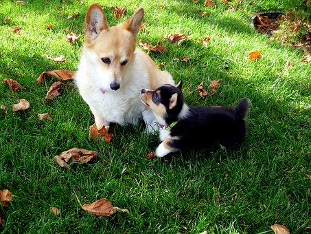 Yorkie, Terrier, Dog, Pet, Canine, Big, Little, Puppy