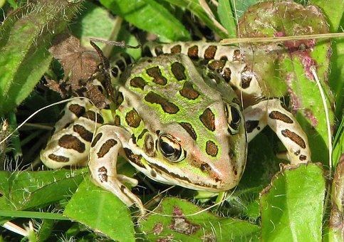 Northern Leopard Frog, Lithobates Pipiens, Rana Pipiens