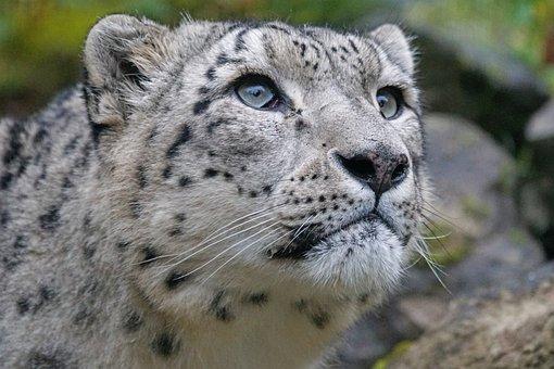 Snow Leopard, Irbis, Predator, Panthera Uncia, Big Cat