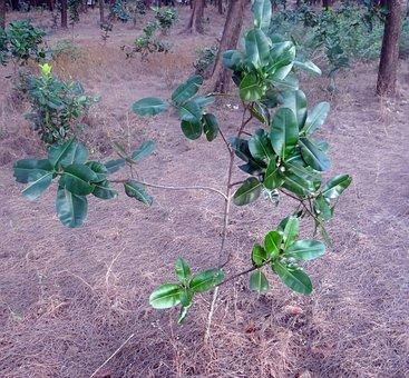 Beauty Leaf, Alexandrian Laurel, Sultan Champa