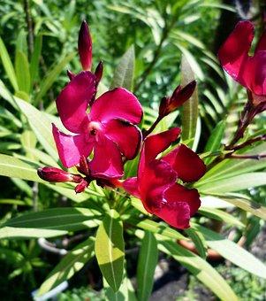 Oleander, Purple, Laurel Rose, Toxic, Blossom, Bloom