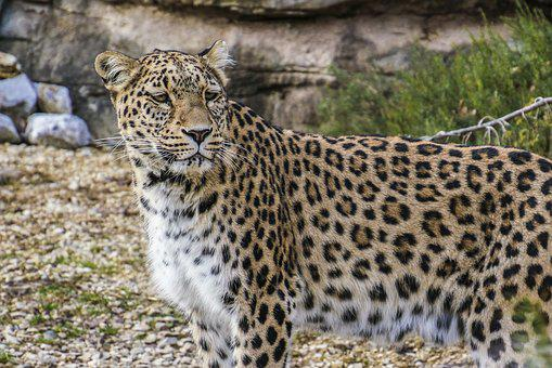Persian Leopard, Leopard, Portrait, Close Up, View