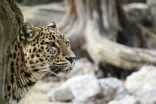 Persian Leopard, Leopard, Portrait, Close Up, View