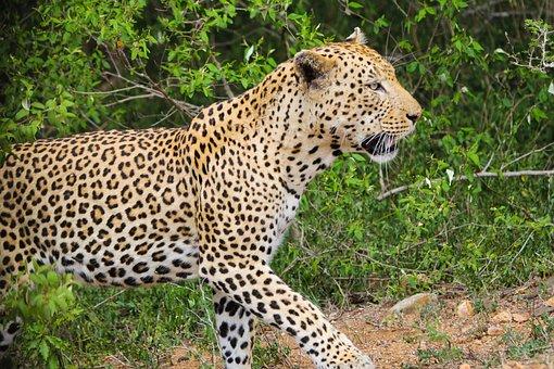Leopard, Wild Animals, Nature, Wild Life, Wild