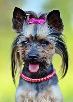 Yorkie, Dog, Fashionable, Csattos