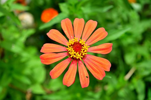 Flowers, Orange Flower, Zinnia, Pink, Bright, Orange